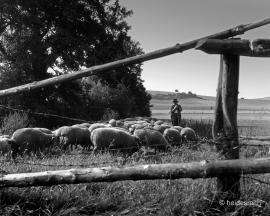 shepherd 1961 VAE01